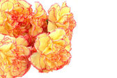 Multicolored carnations — Stock Photo