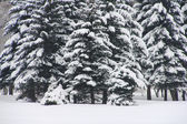 Snowy fir trees — Stock Photo