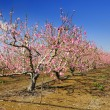 Almond trees. — Stock Photo #7181767