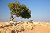 Carob tree. — Stock Photo