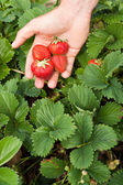 Hand full of freshly picked strawberries — Stock Photo