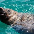 Young Seal Swimming - Stock Photo