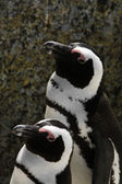Two Pinguins standing next to each other — Stock Photo