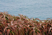 Aloe next to Sea — Stock Photo