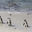 3 Penguins walking along the beach out of the water — Stock Photo