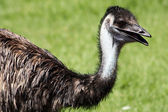 Neck and Head of an Emu — Stock Photo