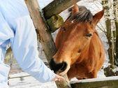 Horse winter feeding — Stock fotografie
