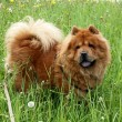 Chow-chow dog — Stock Photo #7122746