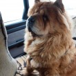 Chow chow dog traveler — Stock Photo #7190283