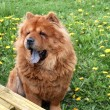 Chow chow dog — Stock Photo #7190470