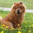 Brown chow chow dog — Stock Photo #7190491