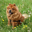 Chow-chow dog — Stock Photo #7190574
