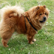 Chow-chow dog — Stock Photo #7190597
