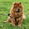 Chow-chow dog sitting — Stock Photo #7190623