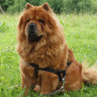 Chow - chow dog — Stock Photo