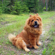 Chow chow in forest — Stock Photo #7191082