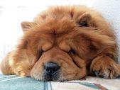 Chow chow dog — Stock Photo