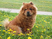 Brown chow chow dog — Stock Photo