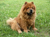 Chow chow dog in the grass — Stock Photo