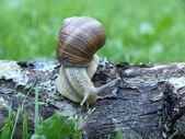 The log with snail — Stock Photo