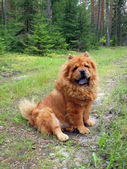 Chow chow in the forest — Stock Photo