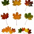 Maple leafs — Foto Stock