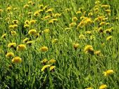 Sowthistle in the meadow — Stock Photo