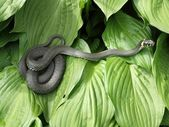 The grass snake — Stock Photo