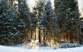 Winter sun light in the forest — Stock Photo