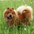 Brown chow chow dog — Stock Photo #7784970