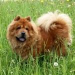 Brown chow chow dog — Stock Photo