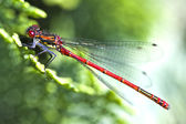 Red dragonfly close up ( Pyrrhosoma nymphula) — Stock Photo