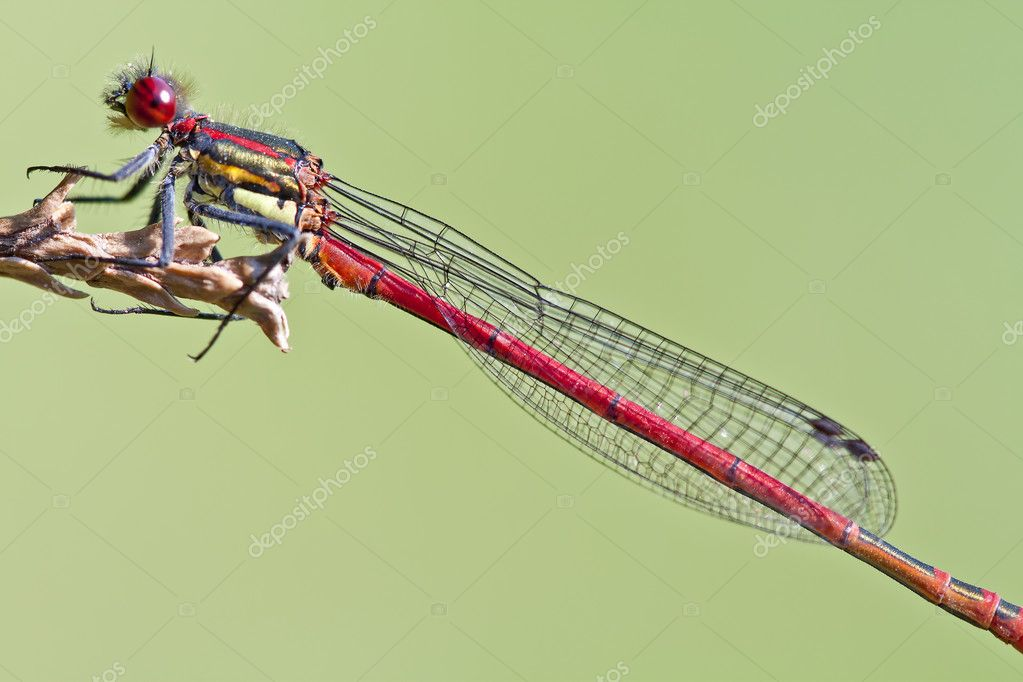 Red dragonfly close up ( Pyrrhosoma nymphula)  Stock Photo #7240624