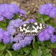 Butterfly half-mourning — Stockfoto
