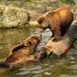 Stock Photo: Bears playing