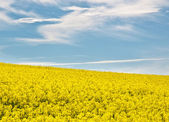Field of rape flowers in summer — Stock Photo