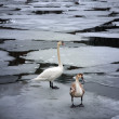 Stock Photo: Wild swans on ice