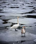 Wild swans on ice — Stock Photo