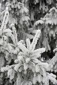 Frosty nedles — Stock Photo