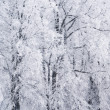 Stock Photo: Trees in rime frost