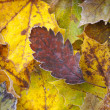 Autumn leaves with frost — Stock Photo