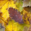 Stock Photo: Autumn leaves with frost