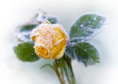 Froze yellow rose — Stock Photo