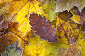 Autumn leaves with frost — Stockfoto