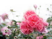 Wild pink roses — Stock Photo