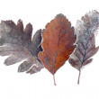 Brown leaves with frost — Stock Photo