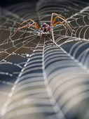 Spider in cobweb — Stock Photo