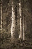 Big spruce trees in sepia forest — Stock Photo