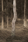 Birch tree in spooky forest — Stock Photo