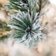 Pine needles with frost — Stock Photo